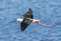 Black-winged Stilt- Birds In Flight Photography Cape Town with Canon EOS 7D Mark II Copyright Vernon Chalmers