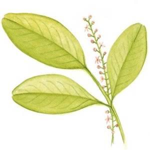 Jaborandi, nome científico: Pilocarpus jaborandi