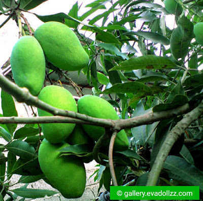 Fresh And Yummy Mango Pictures - Mangga
