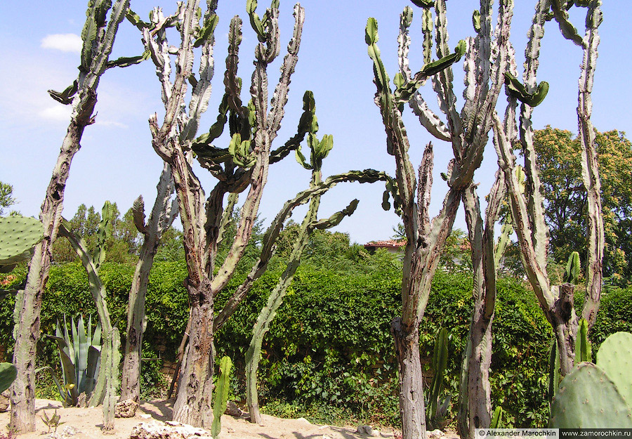 Ботанический сад в Балчике. Кактусы