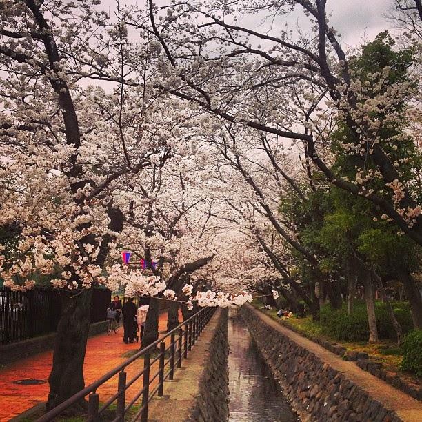 桜の並木道の写真