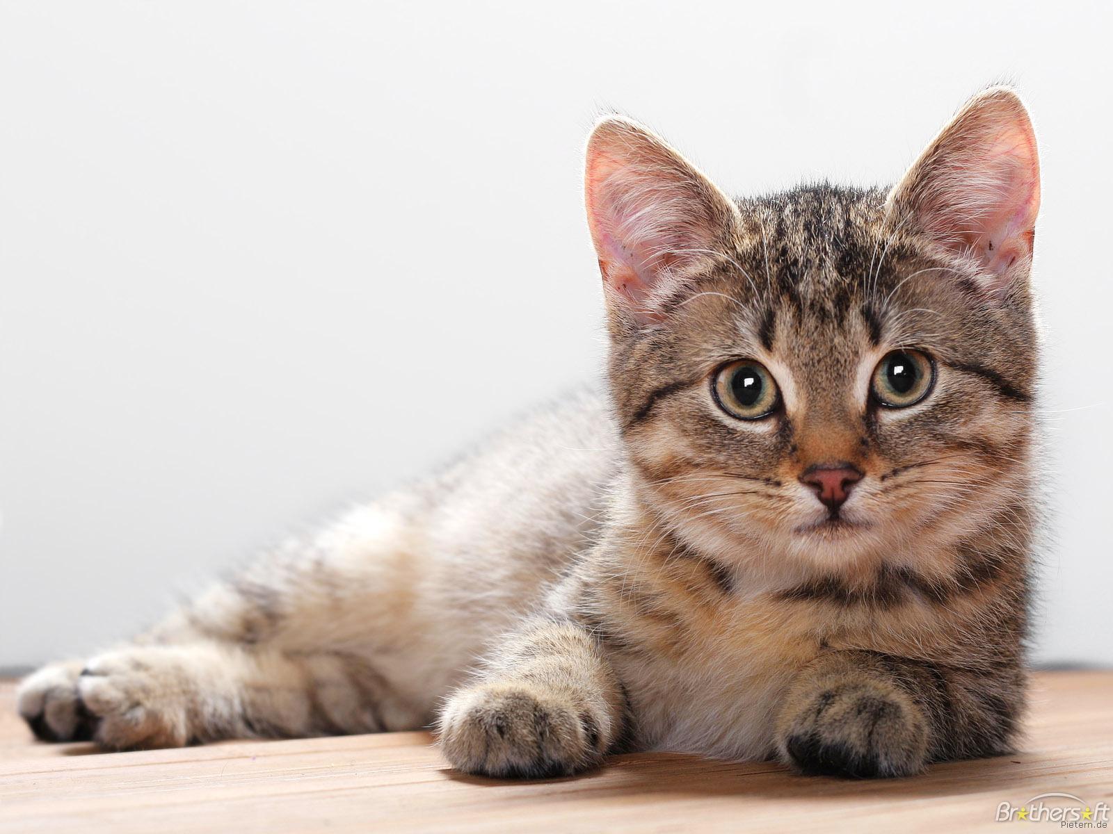 Animal Wallpapers Blog: Cat Wallpapers