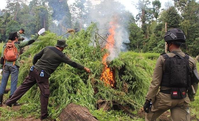 Polisi Panen Ganja di Aceh