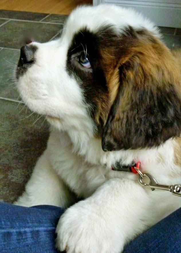 Cute Baby Bernard Puppy