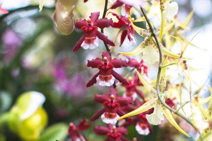 cleveland, botanical garden, orchid