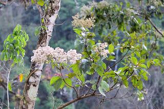 Laurel Tree Flowers