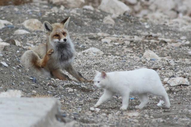 Fábula: A raposa e o gato