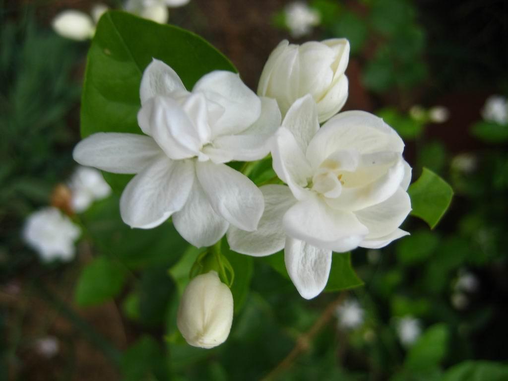 Gambar Bunga Melati Putih Tercantik Wallpaper