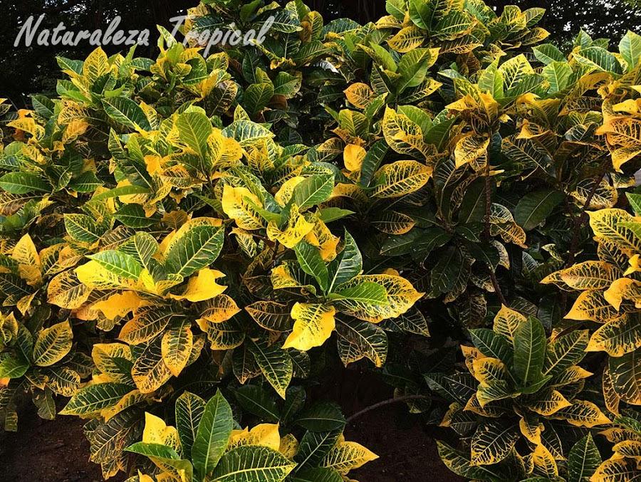 Croton en un jardín, género Codiaeum