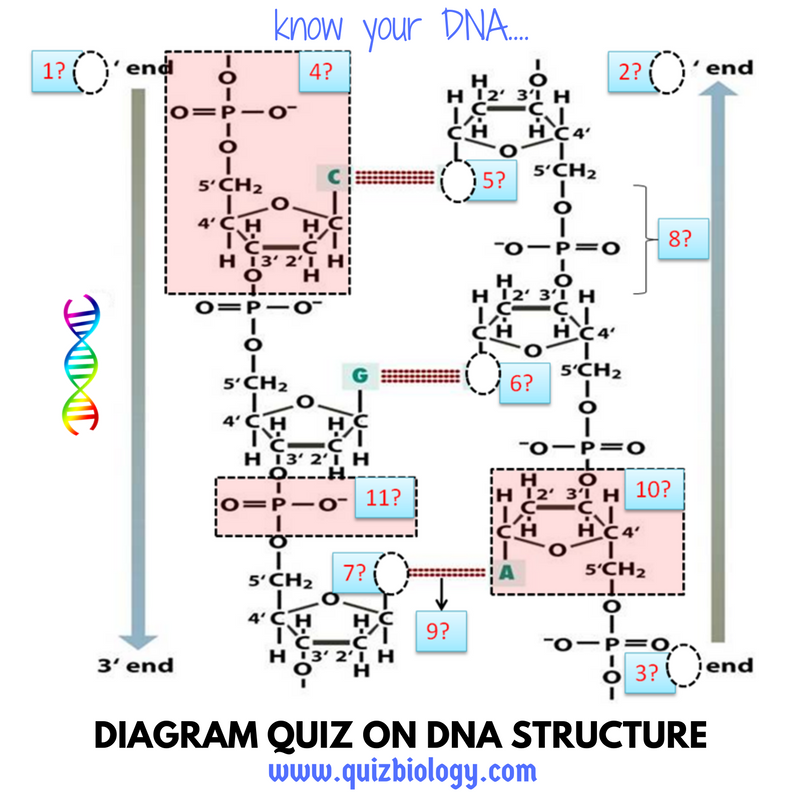 Diagram quiz on dna structure biology multiple choice quizzes dna structure worksheet ccuart Gallery