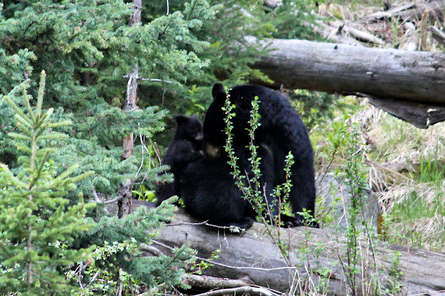 yellowstone, black bear, mama bear, http://bec4-beyondthepicketfence.blogspot.com/2016/05/work-hard-play-hard.html