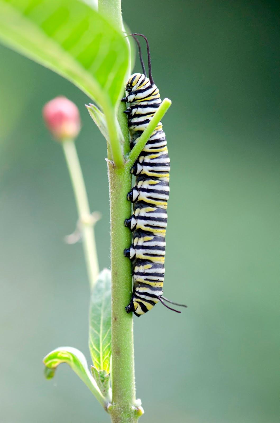 urban wildlife guide august 2017 rh urbanwildlifeguide net Butterfly Caterpillar Identification Caterpillars Identification Guide