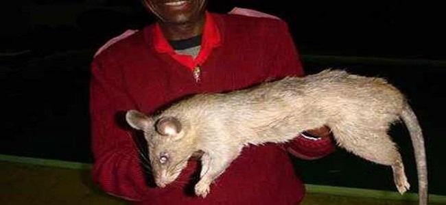 Abandono-bebe-comieron-ratas-gigantes