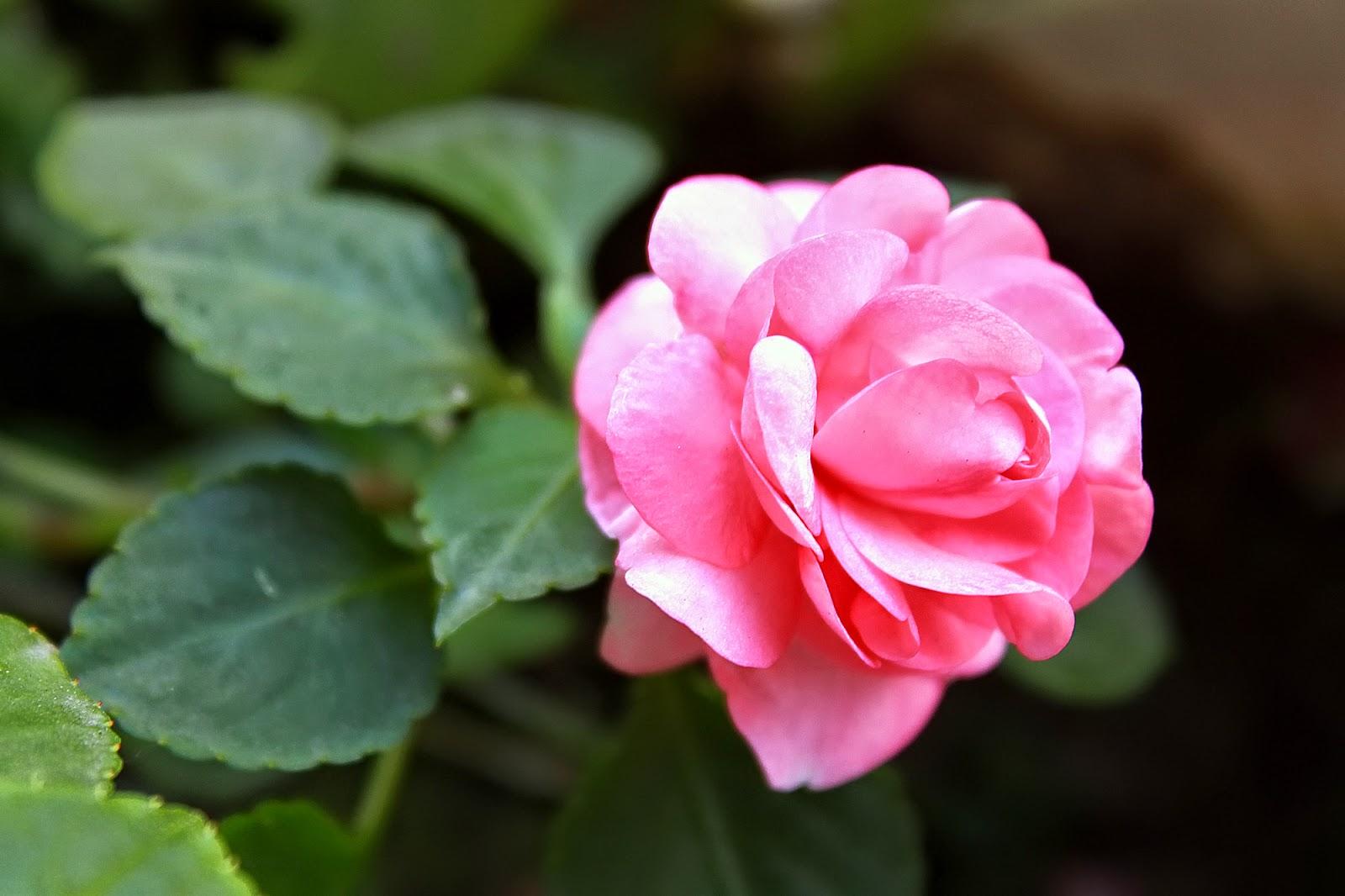 Flor de Alegría del hogar rosa