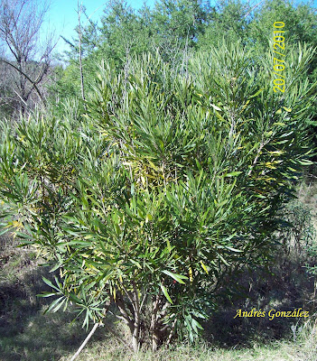 Mata ojo Pouteria salicifolia