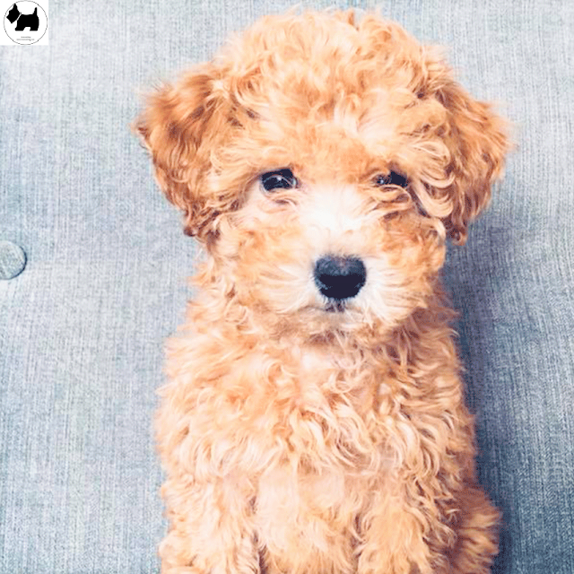 Cutest Dog Breeds, Best Dog, Toy Poodle Dog puppies