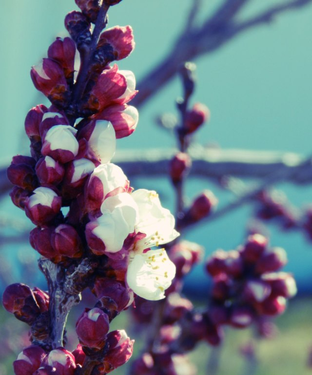 apricot blossom photography: grow creative