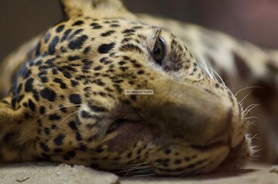 Ark Avilon Zoo - Javan Leopard