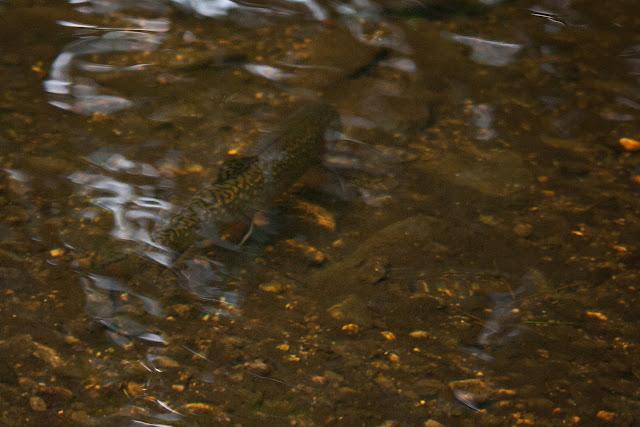 Massachusetts Wild Native Brook Trout