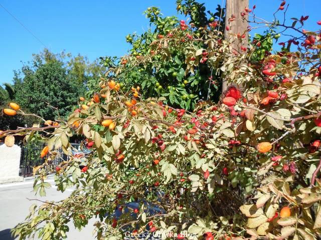 krzak z owocami róży, gorzka pomarańcza, bezchmurene niebieskie niebo