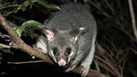 Possum pictures_Acrobates pygmaeus