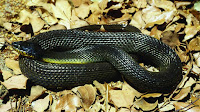 Snake pictures_Serpentes