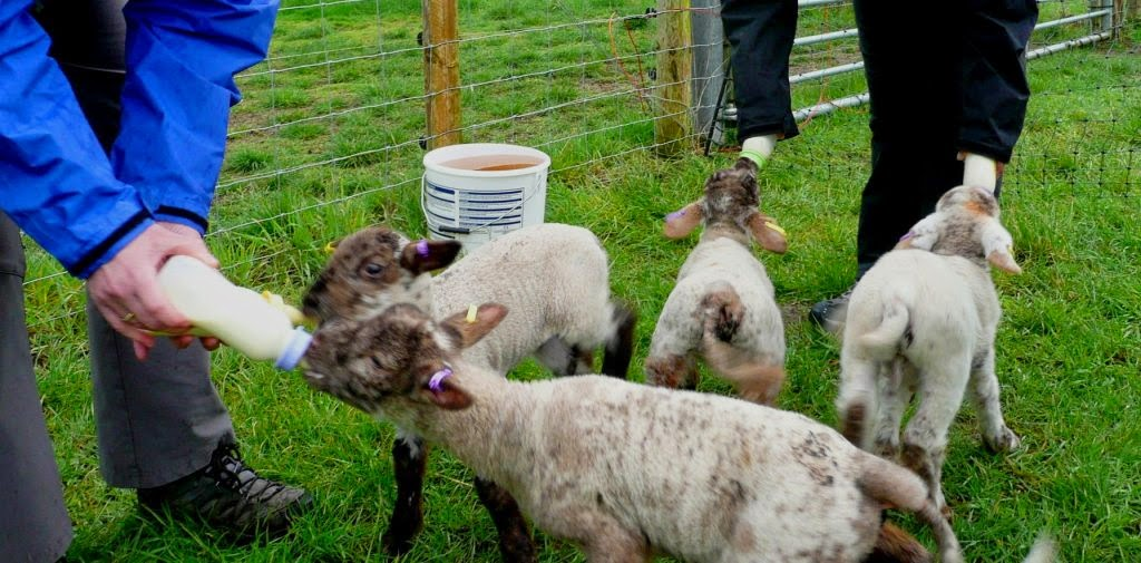 Volunteer feeders over Easter helping to feed the HenSafe lambs!