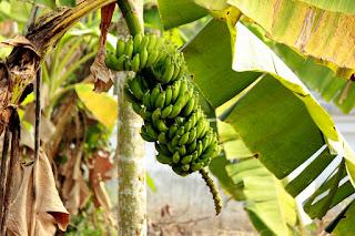 Banana Tree in Kerala