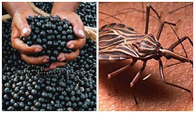 Suco de Bacaba contaminou 9 pessoas da mesma família com Doença de Chagas no Tocantins