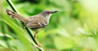 Proses Dan Cara Mudah Menjodohkan Burung Ciblek Untuk Di Ternakan Paling Lengkap