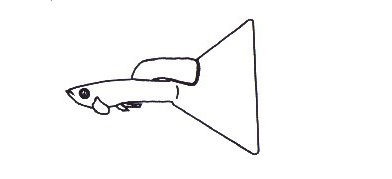 Gambar Bentuk Ekor Ikan Guppy Delta Tail