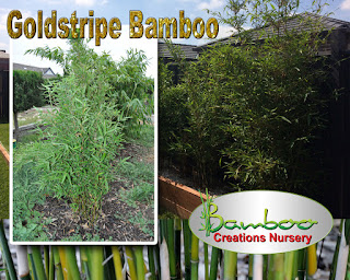 goldstripe bamboo on sale at the bamboo creations Victoria nursery