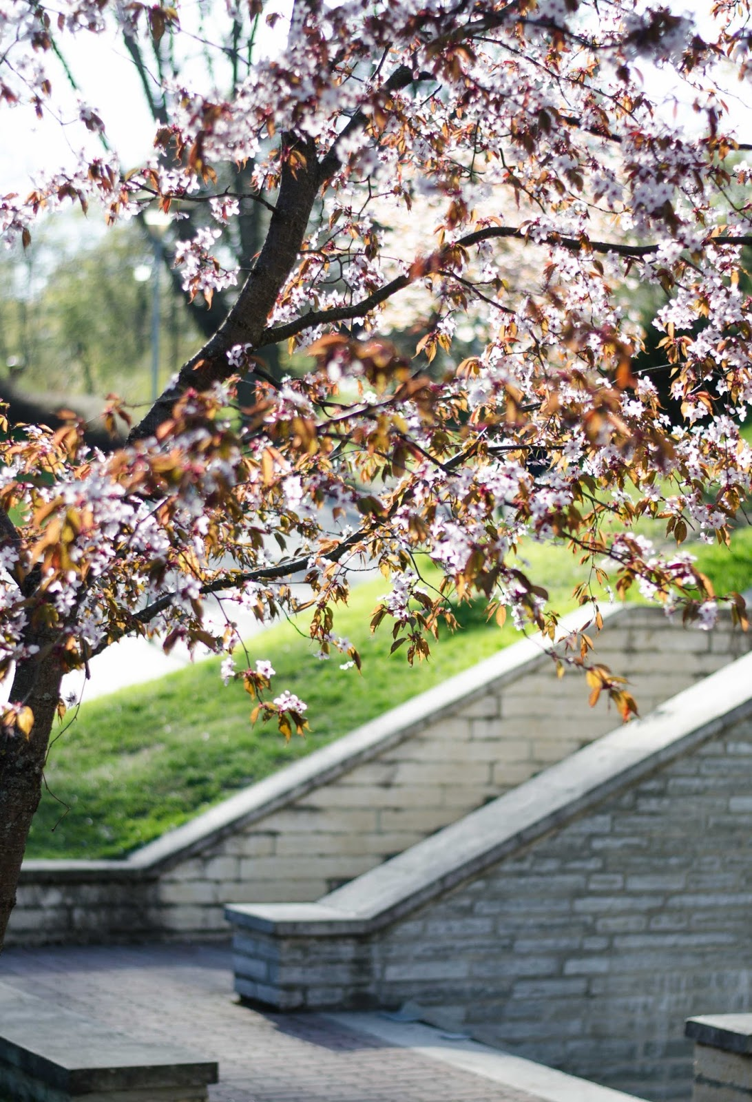 spring cherry blossom tree