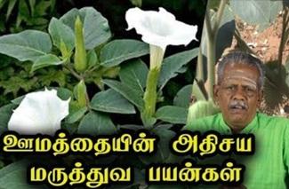 Datura Metel Health Benefits in Tamil
