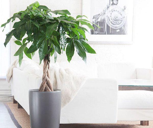 pachira planta decorar hogar interior