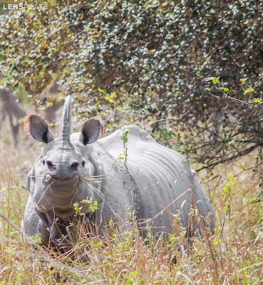 Spotted and captured the dreat one-horned rhinoceroses!