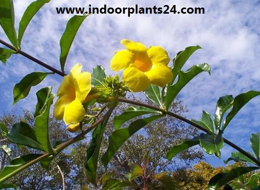 Allamanda cathartica indoor house plant photo