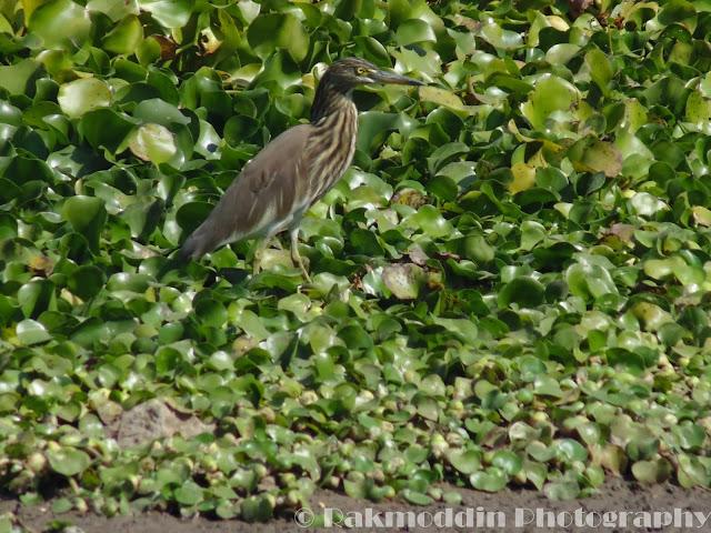Pond Heron at Pashan Lake, Pune, Maharashtra, India
