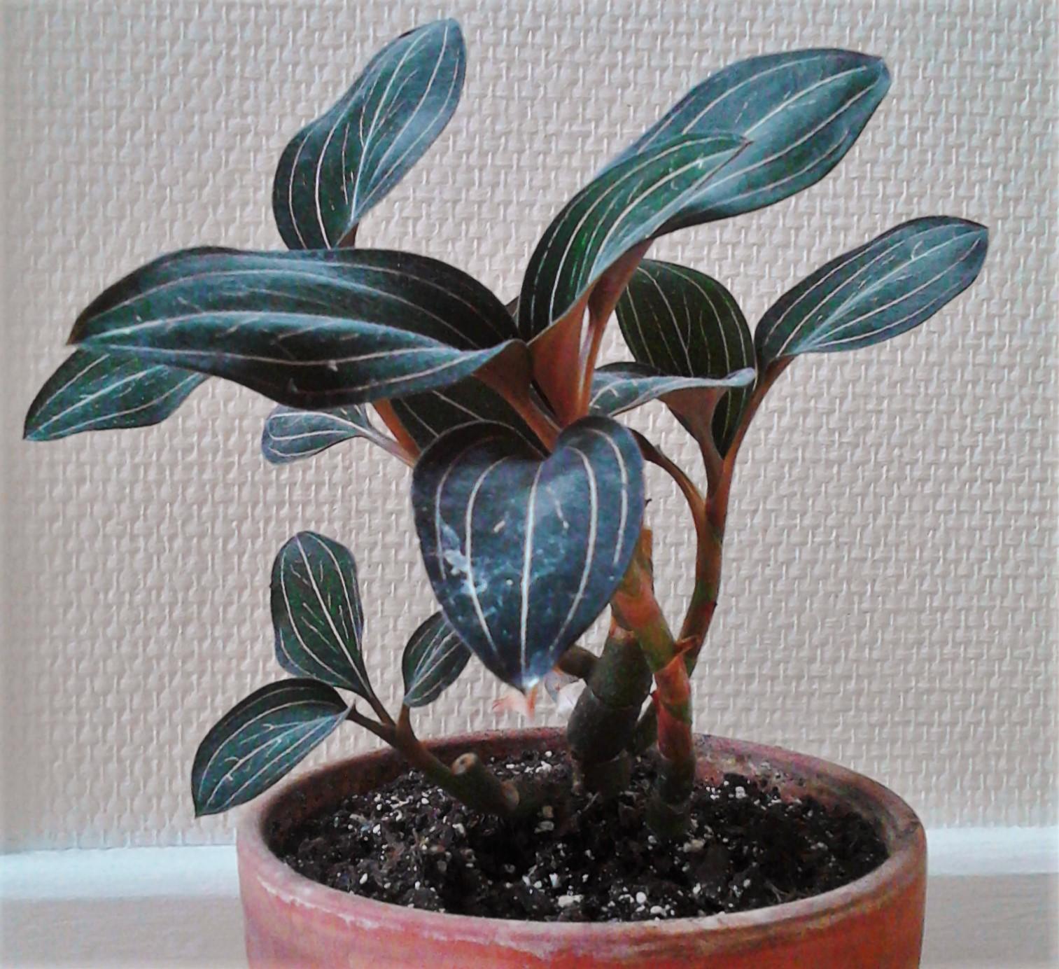 La ventana de javiruli plantas de interior 32 orqu dea for Cuidados orquideas interior