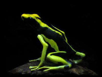 Sapo-Flecha-de-Veneno-da-Amazônia (Dendrobates galactonotus)