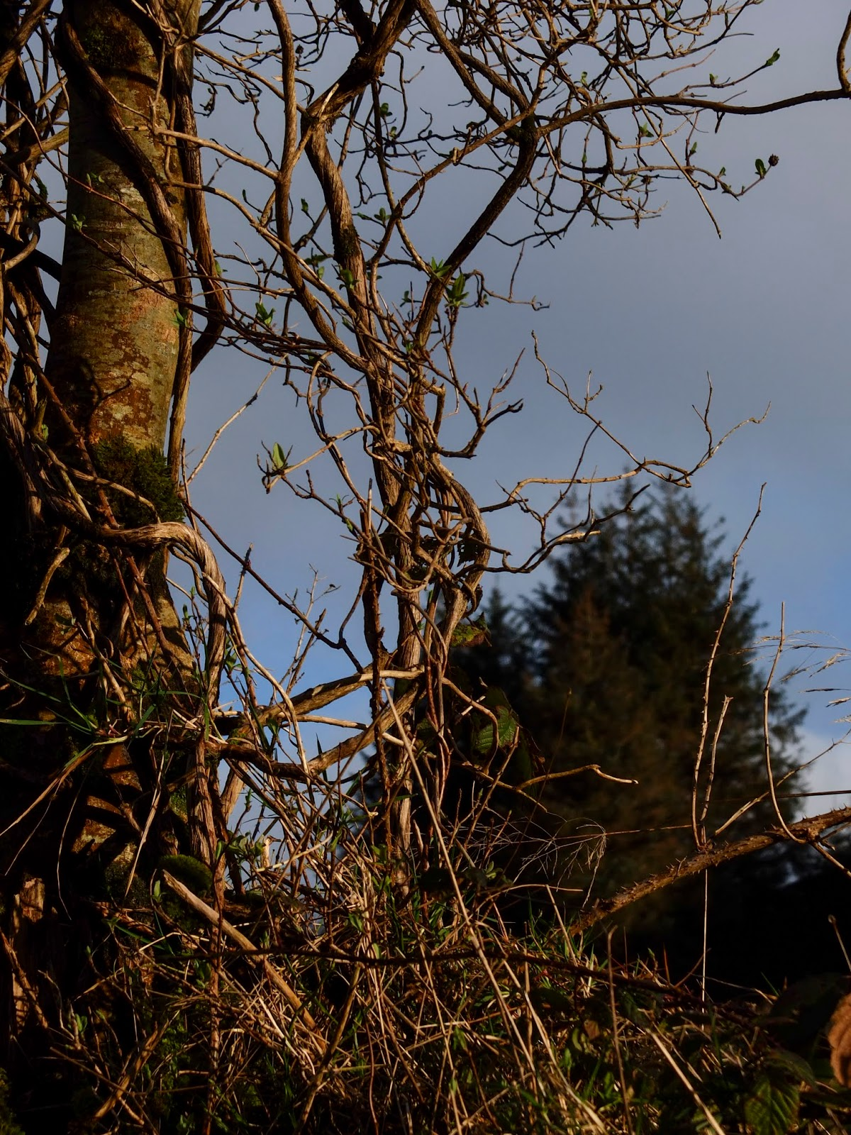 Tree trunk and some twisted branches in the sunlight with some conifer trees in the background.