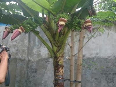 Pohon Pisang Ini Bikin Heboh Warga, Ini sebabnya