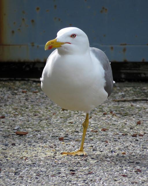 One-legged gull, port of Livorno