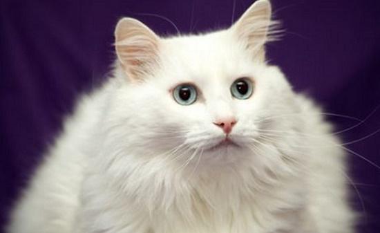 Cara Menebalkan Bulu Kucing Secara Alami