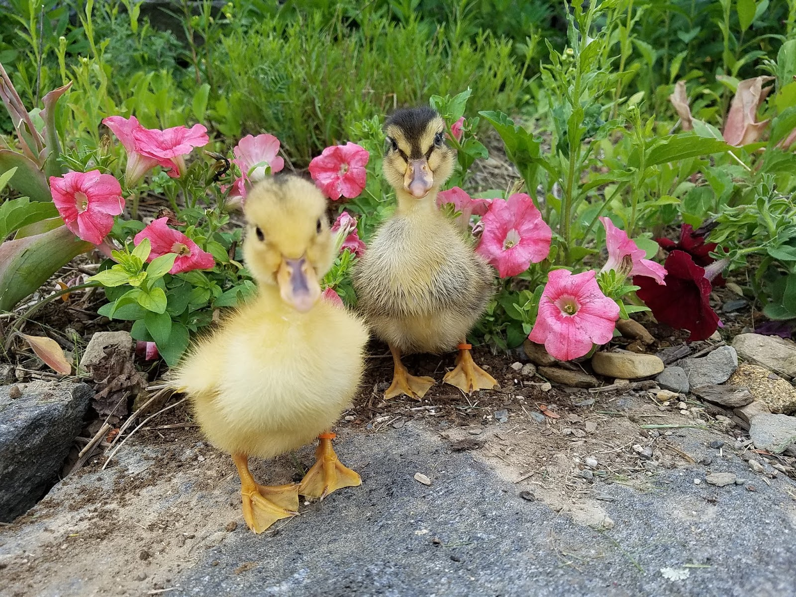Raising Ducklings Naturally | Fresh Eggs Daily®