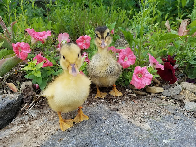Beginners Guide to Raising Ducklings