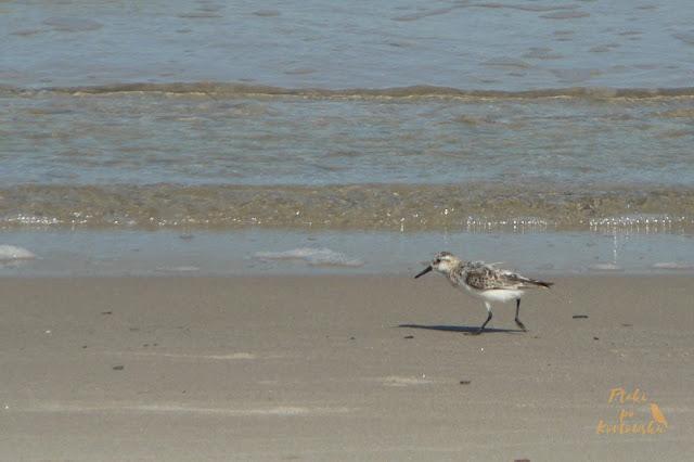 Piaskowiec w biegu wzdłuż linii brzegowej morza