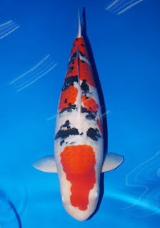 Ingin ikan koi juara perhatikan hal berikut budidaya usaha for Koi 1 utama