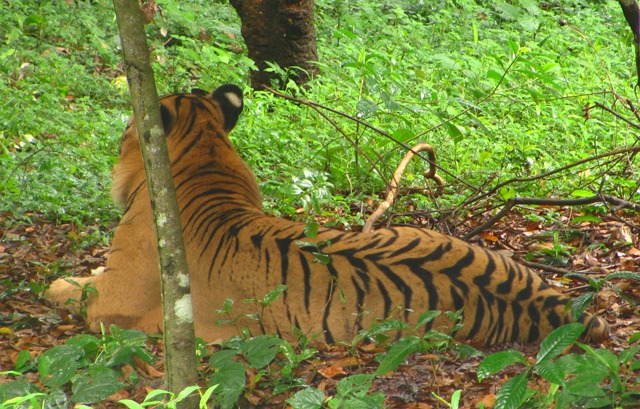 biodiversity of tigers in asia About our endangered species work the diversity of life that sustains ecological systems and human from the antarctic to the north pole and from asia to.