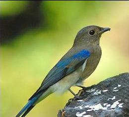 Burung Sulingan atau Tledekan atau Sikatan